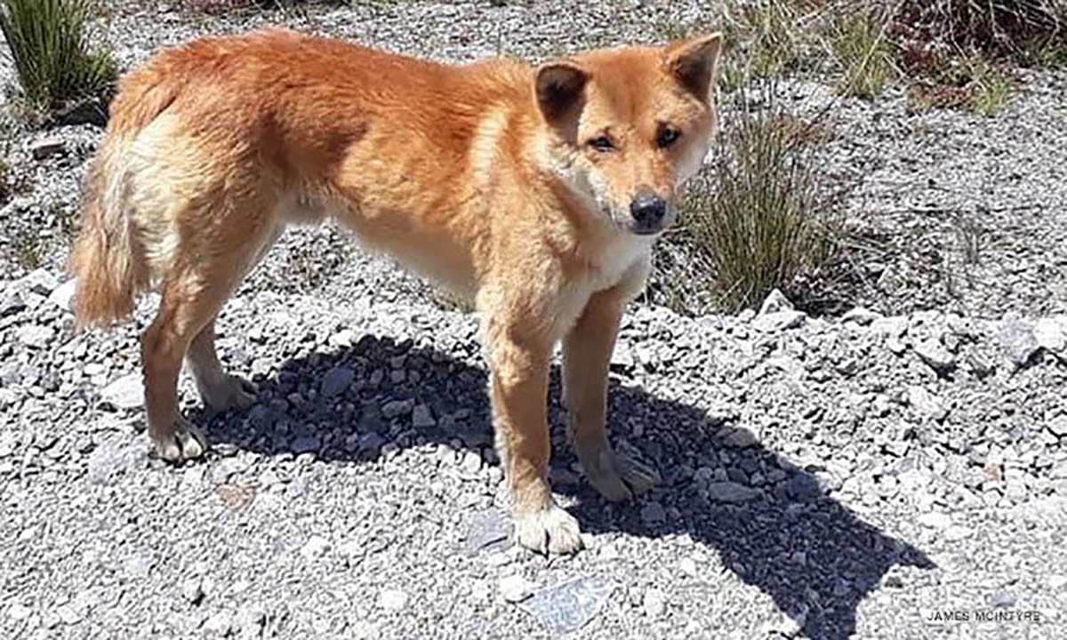 Rare 'singing' dog, thought to be extinct in wild for 50 ...