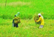 Farmers in Iloilo town harvest palay. Iloilo governor Arthur Defensor Jr. on Thursday said the province will offer loans to farmer cooperatives, which in turn, will purchase the produce of small farmers at premium prices. IAN PAUL CORDERO/PN
