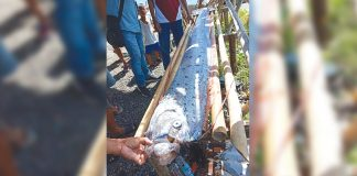 Residents found this oarfish along the shores of Poblacion, New Washington, Aklan on Monday, July 8. According to the National Oceanic and Atmospheric Administration, oarfish are the longest bony fish in the sea growing to 50 feet. PHOTO COURTESY OF RIZZA ALCEDO/AKEANFORUM