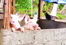 The Department of Agriculture has ordered the culling of all hogs within a one-kilometer radius of infected farms in the provinces of Bulacan and Rizal. LYRE MURAO