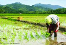 Senate approves on second reading Wednesday a joint resolution authorizing the use of the Pantawid Pamilyang Pilipino Program's rice subsidy program to buy palay from farmers. PHILIPPINE OFFICIAL GAZETTE