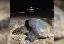 An Olive Ridley sea turtle is seen laying its eggs on the beachfront of a resort in Boracay Island, Malay, Aklan on Tuesday last week. The Department of Environment and Natural Resources came to the area and built a fence around the eggs to protect them. HARON DEO VARGAS/ MÖVENPICK RESORT & SPA BORACAY