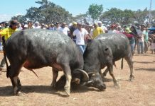 RAGING BULLS. Two carabaos duel in San Joaquin, Iloilo in this undated photo. For over a century, the pasungay tradition is the highlight of San Joaquin's yearly fiesta celebration. PN FILE PHOTO