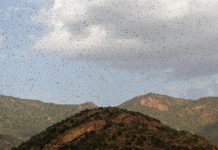Swarms of locusts are seen almost covering the sky in East Africa. Countries in this African region, according to reports, have not faced a locust infestation this size in decades. REUTERS