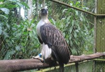 Pangarap is currently housed at the Philippine Eagle Center in Malagos, Davao City.