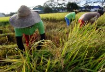 According to the federation's study, the average retail price of regular milled rice (RMR) declined by P2.61 per kilo in 2019 from 2018, while the price for well-milled rice (WMR) went down by P1.99 per kilo. If the decline per kilogram of prices of RMR and WMR will be multiplied by rice consumption volume of 9.466 million metric tons, it will result in P34.16 billion savings or gains for rice consumers. MSN