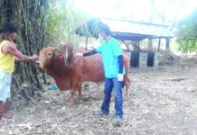Antique Provincial Veterinary (ProVet) Office veterinarian Dr. Florencio Macuja says the cattle and carabaos are susceptible to hemorrhagic septicemia during the rainy season that is why they are being vaccinated to protect them from getting ill. PIO Antique