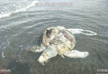 Photo shows a severely wounded green sea turtle found dead in the waters of Brgy. Tuyom, Cauayan, Negros Occidental.