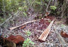 Apprehended mahogany lumber in Guimaras Island