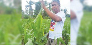 Farmer Nestor Cesar shows sweet corn leaves partly eaten by fall armyworms at his farm in Barangay Mobo, Kalibo Aklan. JUN AGUIRRE/PN