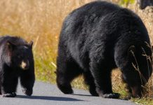 A bear and cub at Yellowstone National Park in the US, where bears have come out of hibernation earlier than usual. GETTY IMAGES